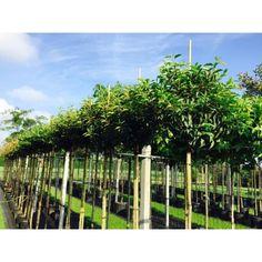 Portugese laurier op stam (Prunus lusitanica Angustifolia)-www.debomenshop.nl