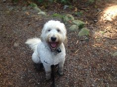 Holly Goldendoodle | Pawshake North Vancouver