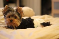 61 Best My Yorkie Images Cute Puppies Cute Dogs Doggies