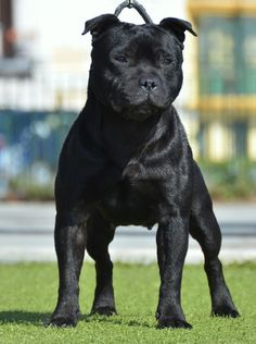 black staffordshire bull terrier | Informations sur d'spain fuego negro Elektra