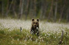 Orso bruno nel Parco Naturale Adamello Brenta