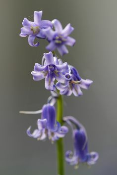 Hallerbos 2012 - Hyacinthoides non-scripta - Common Bluebell - Boshyacint - Wilde hyacint