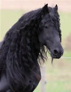 friesian horse - Bing images