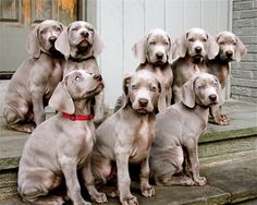 I want them ALL ! A Weimaraner was my very first dog when I was a kid. Such wonderful personality and temperament !