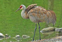Ruffled Feathers Sandhill Crane Canada,Geotagged,Grus canadensis,Sandhill Crane,Spring,canada,nature,wildlife