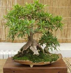 Bonsai - Ficus nerifolia
