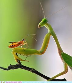 Mantis & friend
