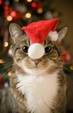 I don't like to dress up but I do like the enticing furry balls on my costumes! #cat #kitty #play #dressedup #Christmas #holidays #felines #December #santahat #winter