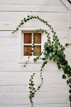 Ivy on a white rustic facade Foto Picture, Fachada Colonial, Plant Wall, Home Design, Windows And Doors, My Dream Home, Decoration, Interior And Exterior, Exterior Windows