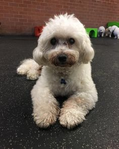 Meet our new member, Bizou! A 14-year-old #bichon. Welcome to the pack buddy!!!