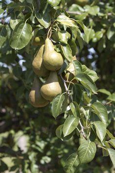 Pears # Bosc #pears Orchards, Pears, Stuffed Mushrooms, Vegetables, Food, Stuff Mushrooms, Essen, Vegetable Recipes, Meals