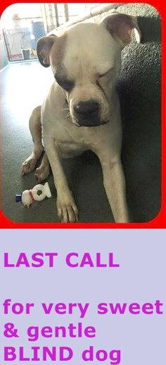 Rescued! NIKKI A1681243 Blind dog , last call, please!!!!!!!!!!!!! up to tomorrow . this pet qualify for SUN program category A-2!! Almost totally blind, bumps into kennel walls and door, yet stool plays with a squeaker toy and gave me paw when I pet her! She is NIKKI 5 yo am bulldog girl #A1681243 at MDAS — hier: Miami Dade County Animal Services. https://www.facebook.com/urgentdogsofmiami/photos/pb.191859757515102.-2207520000.1425080760./935879936446410/?type=3&theater
