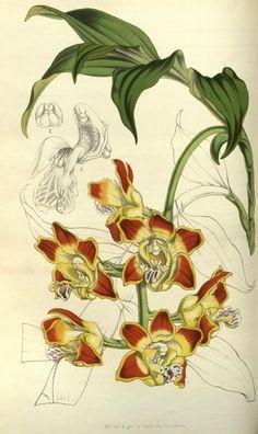 Chysis aurea, var. maculata