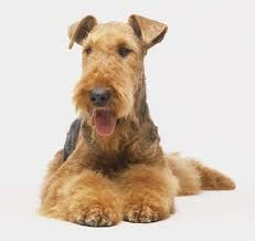 Airedale Terrier! Love my Airedale...everyone who ownes an Airedale says the same thing ( I LOVE MY AIREDALE) because they are AMAZING AND AWSOME