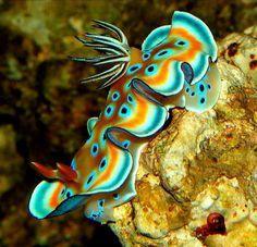 As lesmas do mar são os animais mais coloridos do fundo do mar. Em algumas espécies essa variedade de cores indica aos predadores que o animal é venenoso, é a chamada coloração aposemática. Em outras, auxilia na camuflagem, resultado da seleção natural, já que são animais que vivem entre corais que também são bem coloridos!