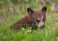"500px / Photo ""Cinnamon Black Bear Cub"" by Henrik Nilsson"
