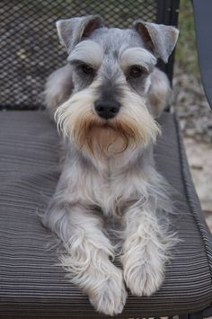 Ranked as one of the most popular dog breeds in the world, the Miniature Schnauzer is a cute little square faced furry coat. Schnauzer Grooming, Miniature Schnauzer Puppies, Schnauzer Puppy, Dog Grooming, Pet Dogs, Dogs And Puppies, Doggies, Schnauzers, Pet Shop