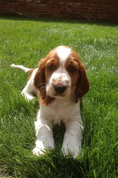 8 week old Welsh Springer Spaniel puppy :) I love Jessie!!!