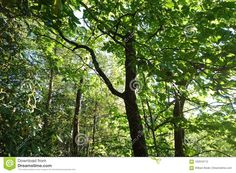 Photo about A brightly lit glowing forest canopy in New York State Park in the Appalachian Mountains. Image of york, appalachian, trees - 102919712 New York State Parks, Appalachian Mountains, Canopy, Stock Photos, Nature, Plants, Image, Naturaleza, Canopies