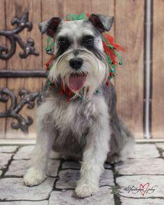 Pet Schnauzer Christmas Portrait