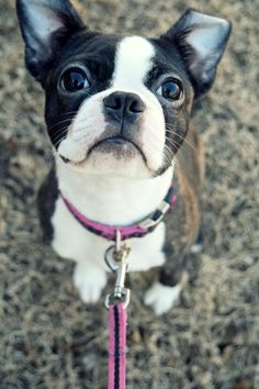 "Receive excellent tips on ""boston terriers"". They are available for you on our web site. Boston Terriers, Boston Terrier Love, Rat Terriers, Boxer Puppies, Dogs And Puppies, Doggies, Sweet Dogs, Cute Dogs, Pokey Little Puppy"
