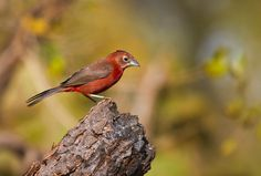 Red-crested Finch (Thraupidae: Lanio cucullatus)