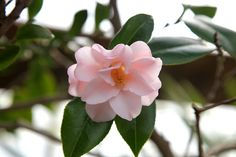 FEBRUARY 26, 2013 See What's Flowering at my Farm! | Camellia Japonica is sometimes called the rose of winter and is a member of the tea family.