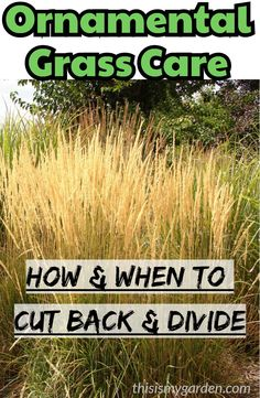Decorative Grass Care how and when to chop them again and divide decorative Decorative Grass Care how and when to chop them again and divide ornamental grass divide landscape cut