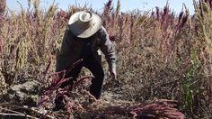 Tehuacán produce 200 toneladas de amaranto