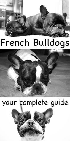 French Bulldogs: A complete guide to one of the most popular dogs in the world. Find out essential care and buying information about your favorite breed