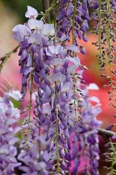 Wisteria at the Magnolia Plantation and Gardens in Charleston, South Carolina • photo: Deb Snelson