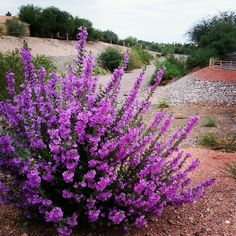 Texas sage . full sun and drought tolerant...I wonder if I can get this in Ontario. :D