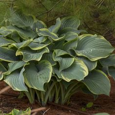 Walters Gardens Variety: Hosta 'Regal Splendor'