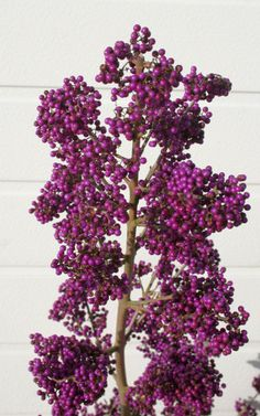 Callicarpa Magical® Purple   Plants Nouveau