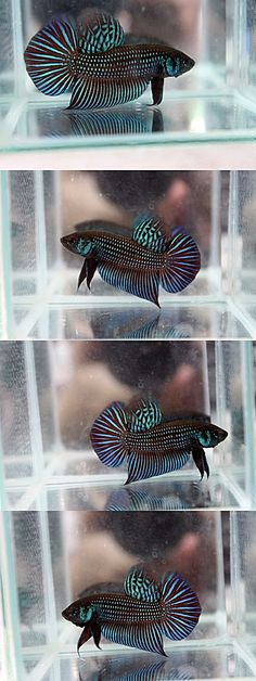 fwbettas1431172570 - Betta sp. Mahachai