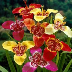 Tigridia pavonia, 'Mexican Shell Flower' These grow from small bulbs and need a lot of sunshine.