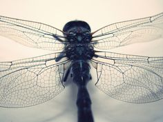 Dragonfly skeleton - The wing structure and texture is amazing.