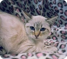 Prattville, AL - Domestic Shorthair. Meet Liza 21768, a cat for adoption. http://www.adoptapet.com/pet/12179135-prattville-alabama-cat