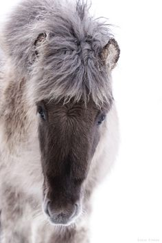 The charming Icelandic horse, the indispensable servant to the Icelanders. Come to meet, see, and ride it on your vacation in Iceland, when you travel here.
