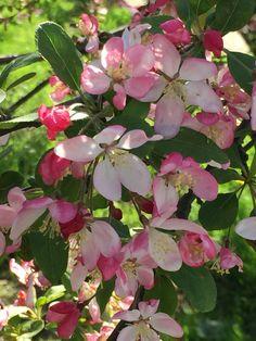 Apricot Blossom, Riverside Park, Spring, Nature, Plants, Naturaleza, Plant, Nature Illustration, Off Grid