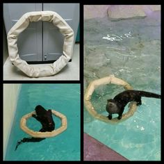 Fun floating firehose play ring for otter enrichment. From Hose2Habitat's facebook