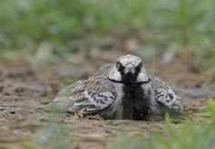Arijit Banerjee @orijeet  -Ashy-crowned Sparrow #Lark #jaipur #pentax #indianbirds #birding @my_rajasthan @PENTAXIAN @Avibase @orientbirdclub