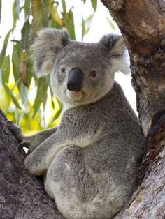Koalas: facts, pictures, and gift ideas