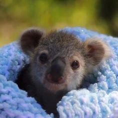 #funny #cute #australia #animals #cute #cutecats #pets #dogs #animallovers #petlovers Cute Funny Animals, Cute Baby Animals, Wild Animals, Funny Dogs, Super Zoo, Australian Reptile Park, Koala Baby, Lone Pine Koala Sanctuary, Baby Gorillas