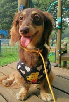 just look at that face Sausage Dogs, Wiener Dogs, Mini Dachshund, Dachshunds, Dog Friends, Puppy Love, Cute Dogs, Dog Cat, Cute Animals