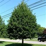 Littleleaf Linden Classic Shade Tree that Smells Great You're not looking for showy flowers. You're not looking for high-maintenance. You're looking for a classically shaped tree to give you some shade in the summer. A tree that keeps looking good without pruning and doesn't require any upkeep on your weekends. Let us introduce you to the Little Leaf Linden tree (Tilia cordata). This tree has been a staple in American neighborhoods for generations and in European streetscapes for centuries…