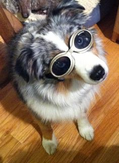 Mini Aussie with Doggles