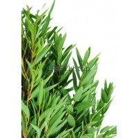 Эвкалипт (Nicholii Eucalyptus)