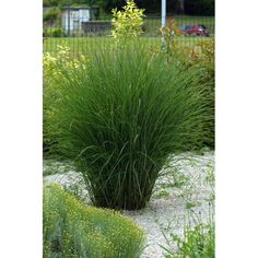 miscanthus in pots - Google Search