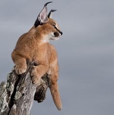 Caracal Kittens, Serval Cats, Cats And Kittens, Small Wild Cats, Big Cats, Cool Cats, Lynx, Reptiles, Mammals
